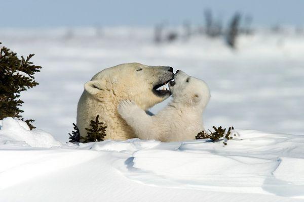 Ein intimer Moment im Familienleben der Eisbären