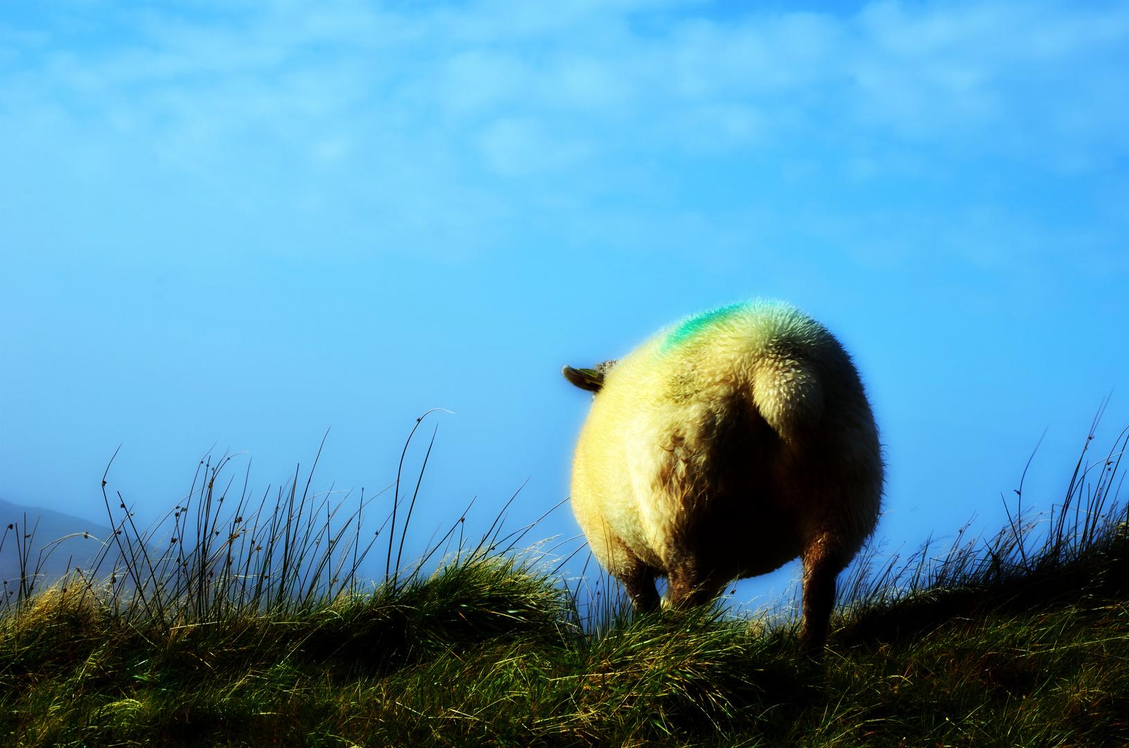 ein irisches Schaf...