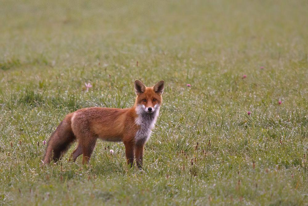 Ein junger Fuchs im Morgentau
