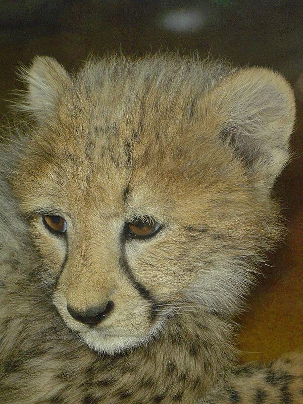 ein junger Gepard
