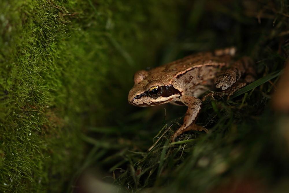 Ein junger Grasfrosch - immer an der Wand lang!!