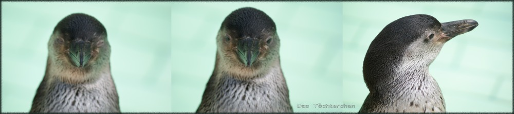 Ein junger Humboldt-Pinguin