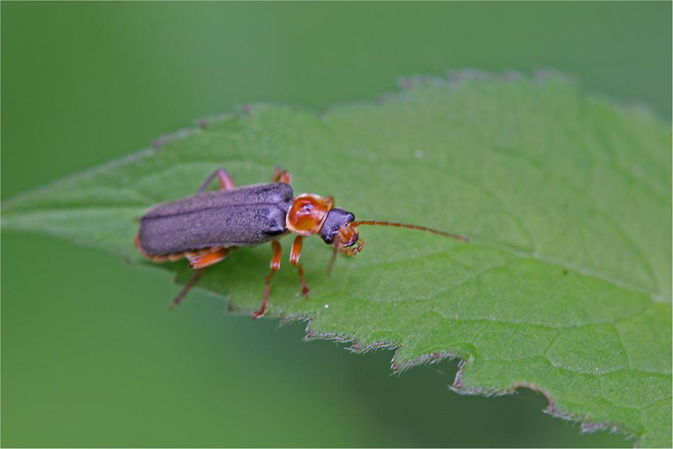 ein käfer, aber welcher?