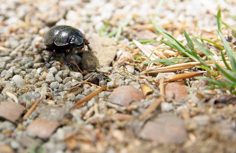 Ein Käfer auf Wanderschaft