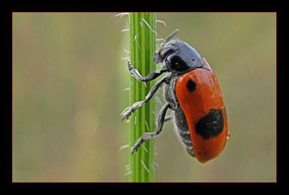 ...::: ein Käfer will hoch hinaus :::...
