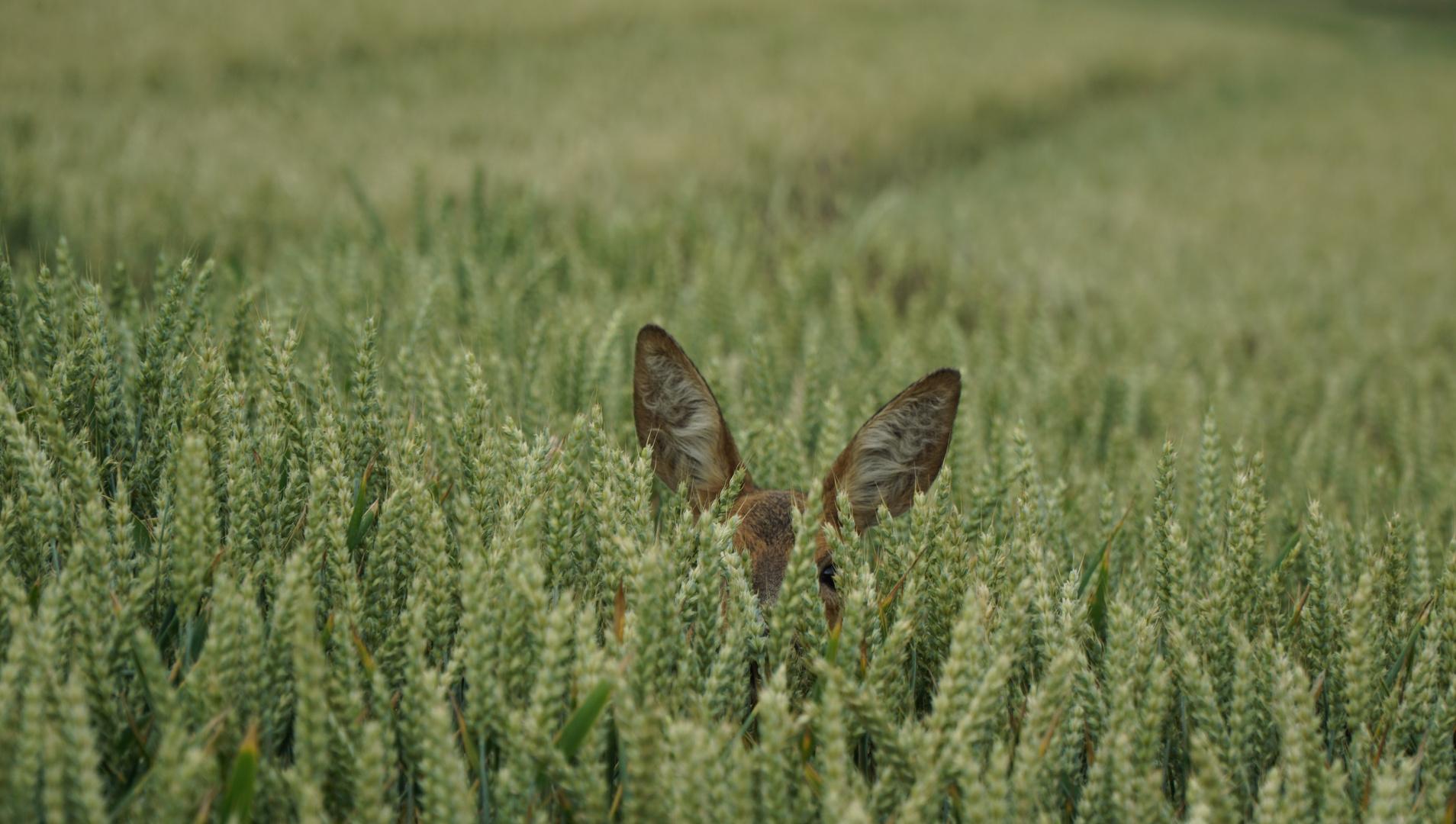 Ein Känguru im Weizenfeld