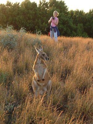 Ein Känguru Zufall im Outback