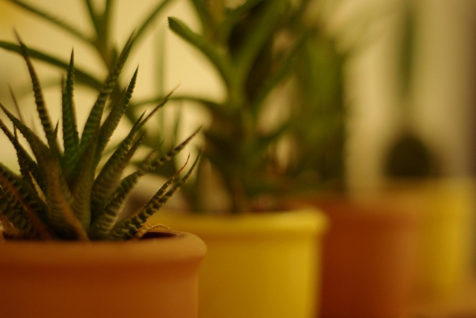Ein Kaktus kommt selten allein.