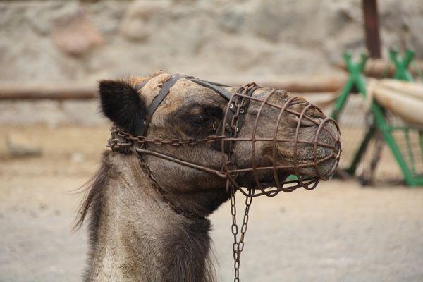 Ein Kamel das nicht beißen wird