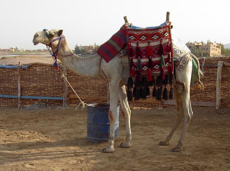 Ein Kamel mit Namen Wiskey in Ägypten