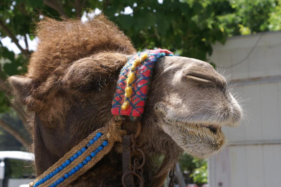 Ein Kamel spricht...