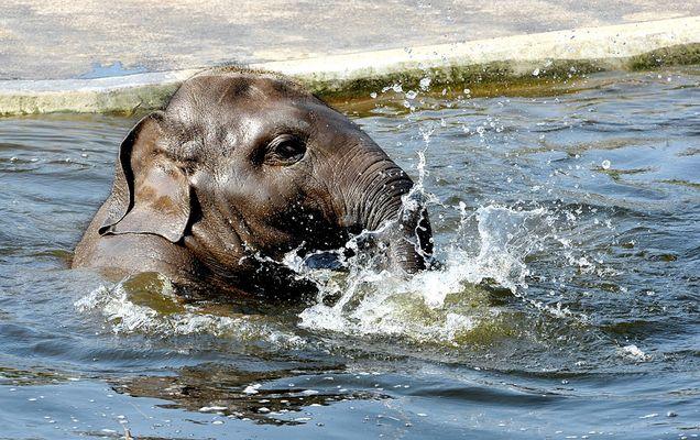 Ein kleiner Elefant macht das Seepferdchen