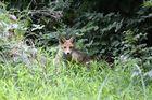 ...ein kleiner Fuchs...