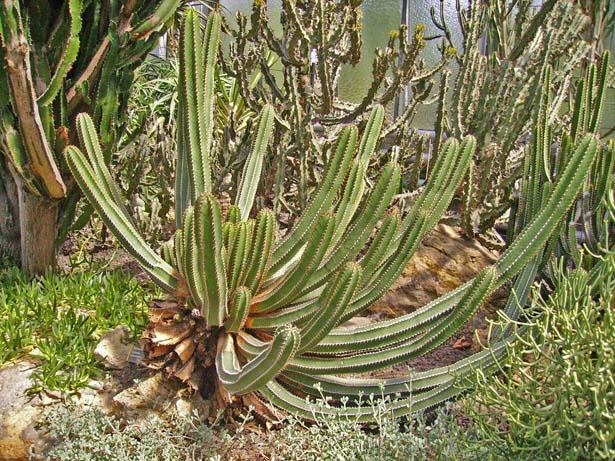 Ein ´´kleiner´´ grüner Kaktus.....