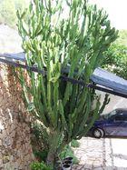 """Ein """"kleiner"""" grüner Kaktus - und das blaue Auto"""