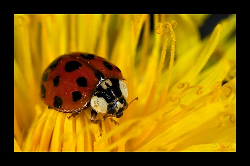 Ein kleiner Käfer // Un petit scarabée