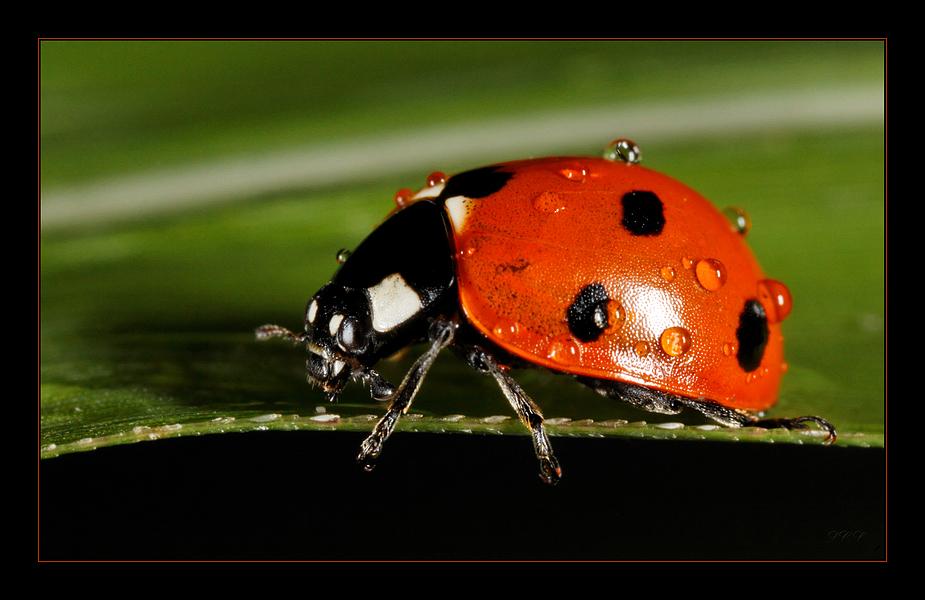Ein kleiner Käfer // Un petit scarabée II