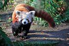 ein kleiner panda im leipziger zoo ...