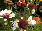 Ein kleiner Schmetterling - wie ist nur sein Name ?