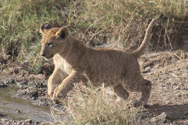 Ein kleiner Sprung für die Menschheit, aber ein grosser für ein Löwenbaby
