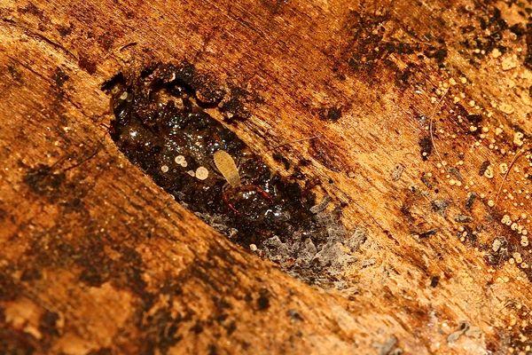 Ein knapp 2 mm (Körperlänge ohne Zangen) großer Pseudoskorpion - Chermes cimicoides?