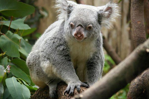ein Koala auf reisen....