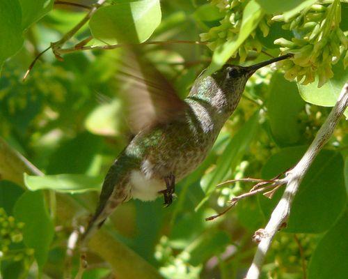 ein Kolibri in freier Wildbahn
