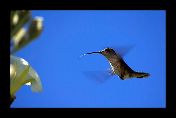 Ein Kolibri leckt sich die Zunge