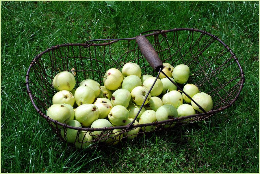 ... ein Korb voller Sommeräpfel