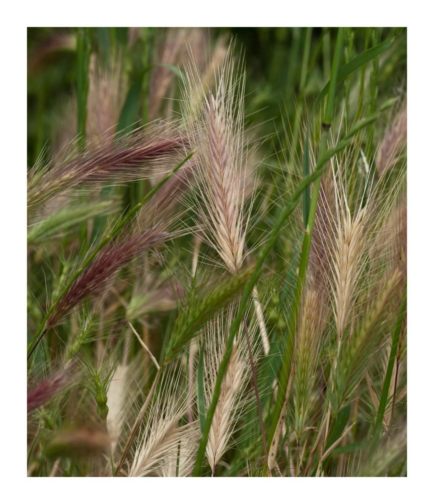 ein Korn im Feldbett...