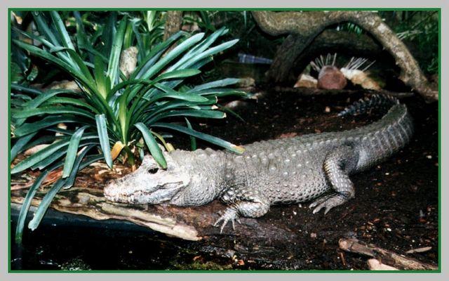 Ein Kroko beim Mittagsschlaf...*g*