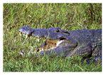 Ein Krokodil am Nil