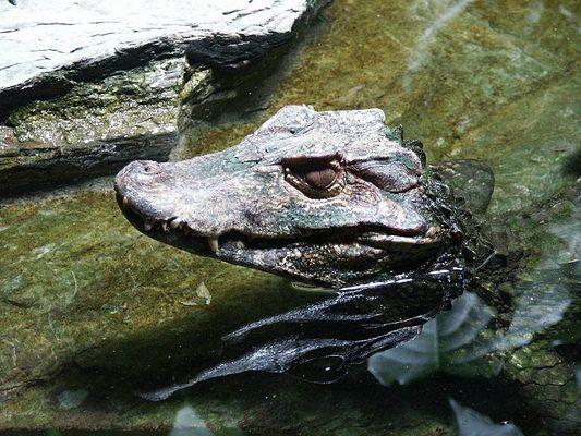 Ein Krokodil wie ein Stein...