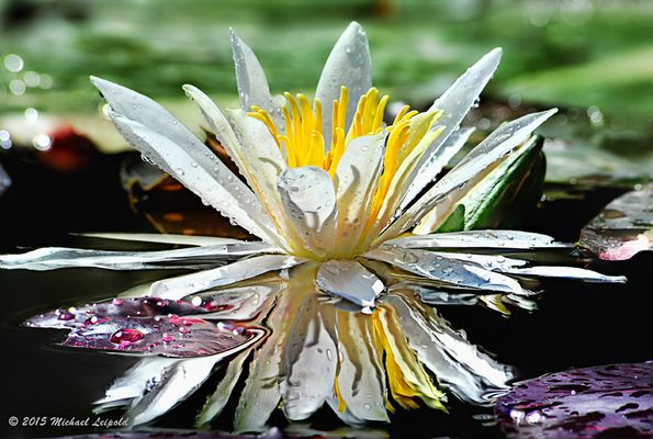 Ein Krone im Seerosenteich