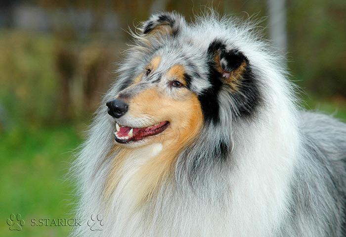 Ein lachender Collie - Balou