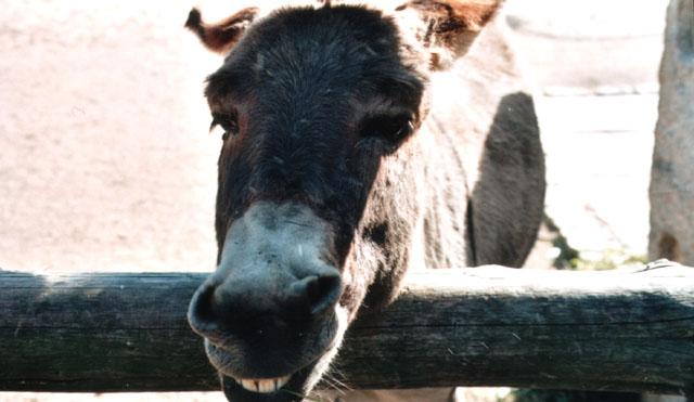 Ein lachender Esel