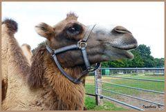 Ein lächelndes Kamel
