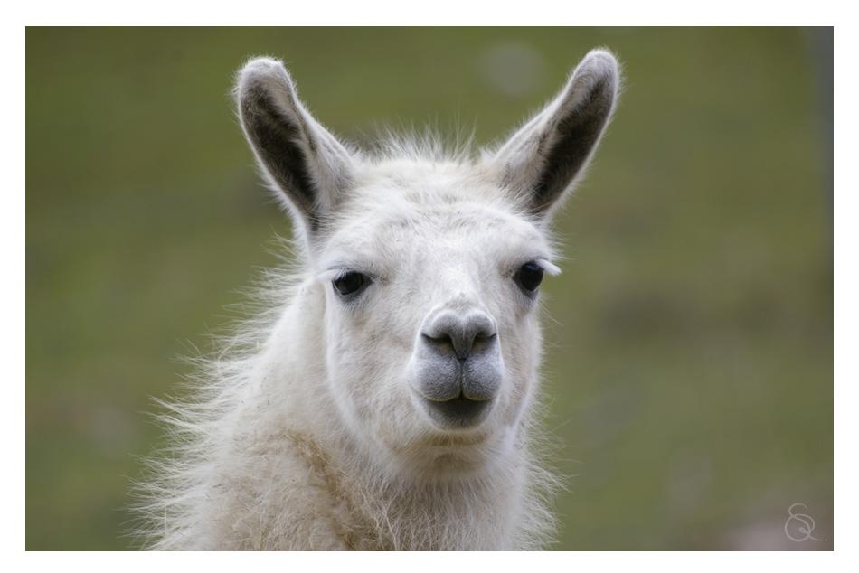 ein Lama zum knutschen