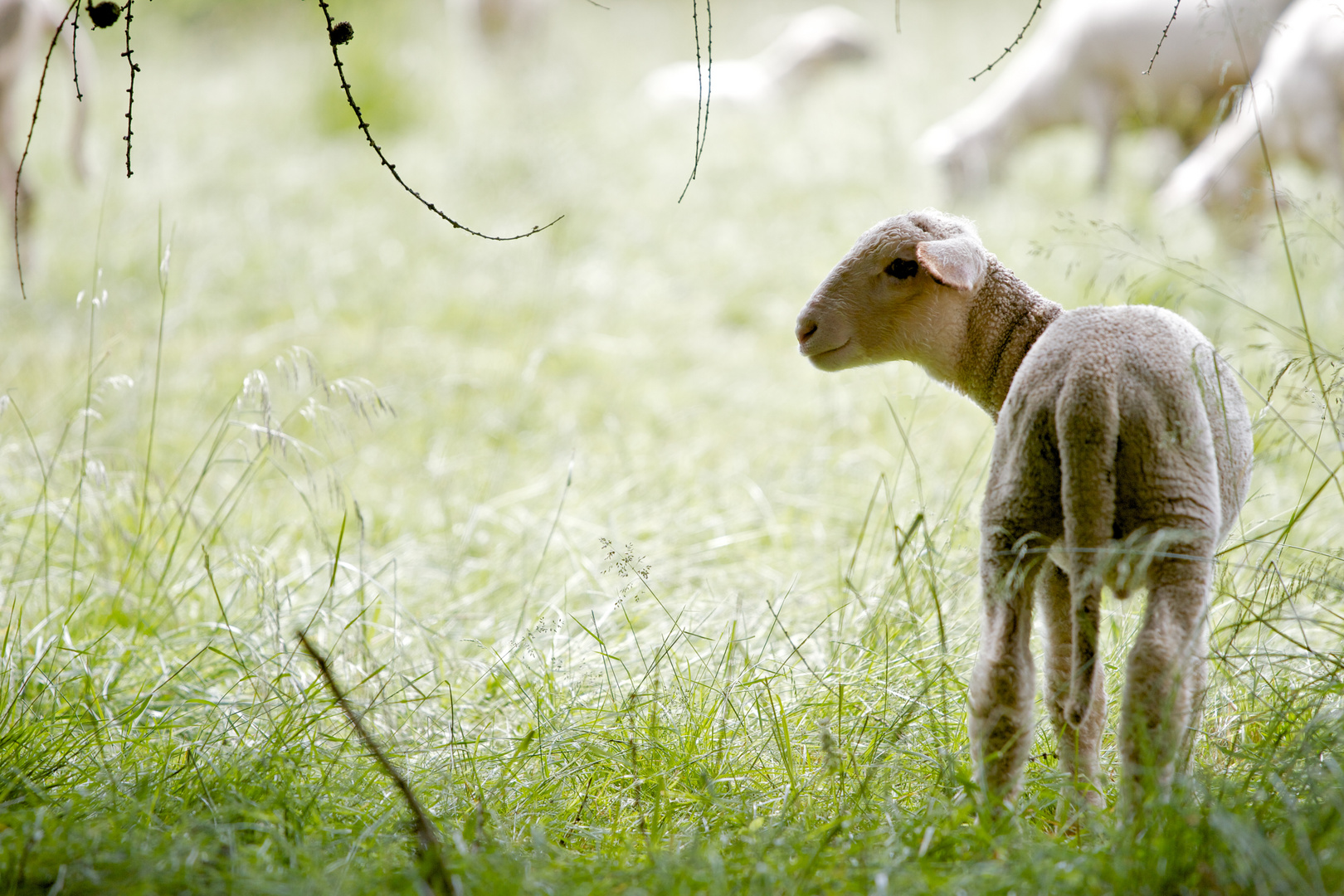 Ein Lamm im Gras