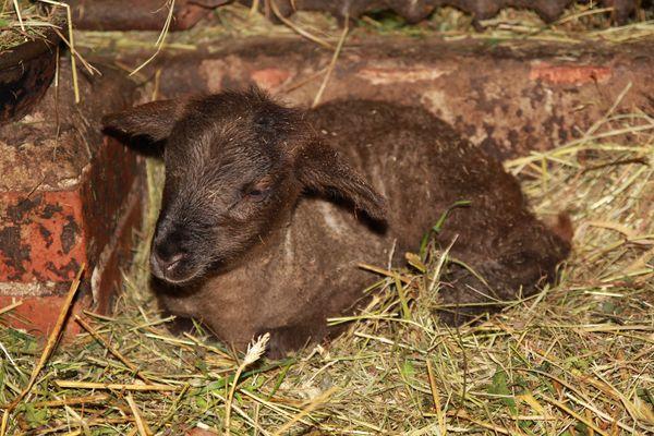 Ein Lamm ist geboren...