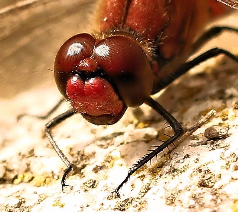 Ein Libellenportrait