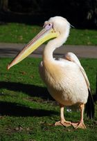 Ein lieber Pelikan