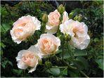 Ein lieber Rosengruss...