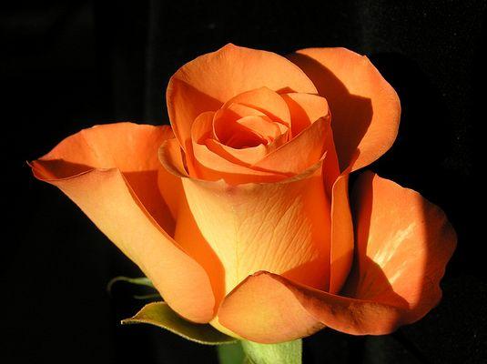 Ein lieber Rosengruß...