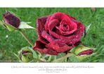 Ein lieber Rosengruß für ALLE
