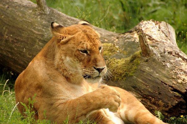Ein Liger (Paarung aus Löwe und Tiger) aus dem Grömitzer Zoo