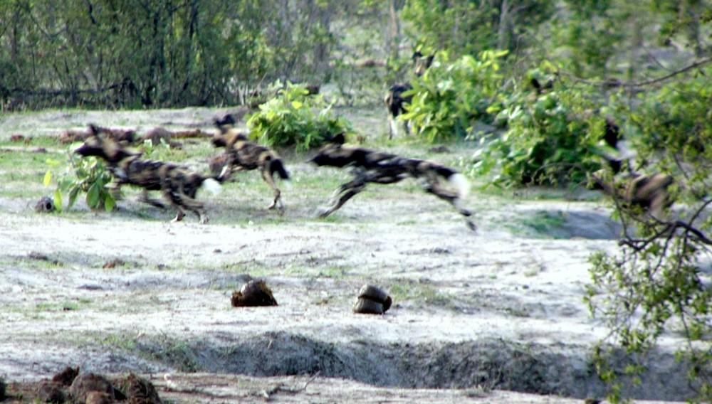 Ein Löwe vertreibt Wildhunde in Savuti 2, ein tolles Erlebnis.
