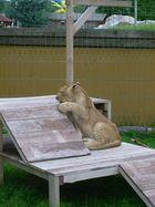 Ein Löwen-Teeny