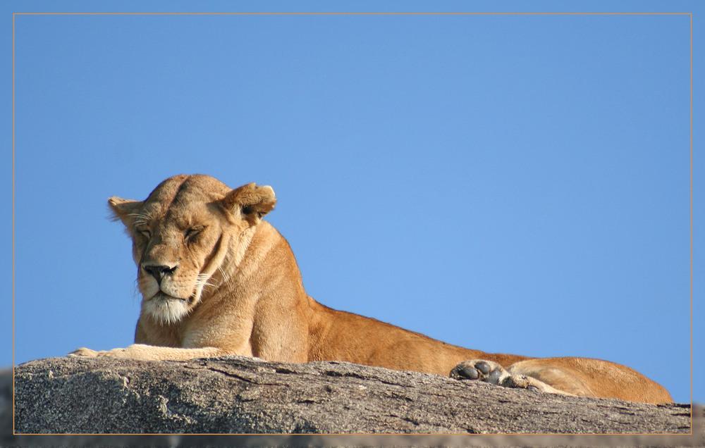 ein Löwenfelsen in der Serengeti