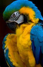 Ein Macaw beim putzen (reload)